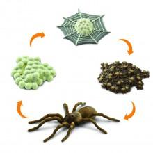 Lebenszyklus der Spinne